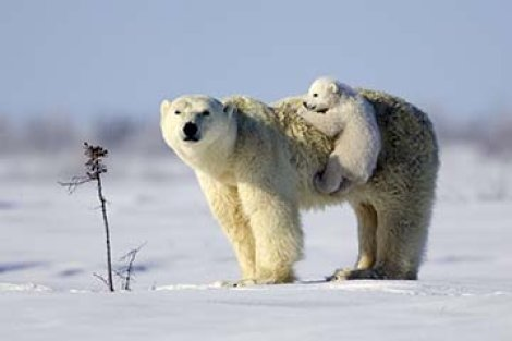 "Watching this polar bear cub cling to mom like velcro was a moment in time I won&#39t forget. Now I look at the picture and can&#39t help but think of the Polar Bear&#39s plight to ""Hang On""."