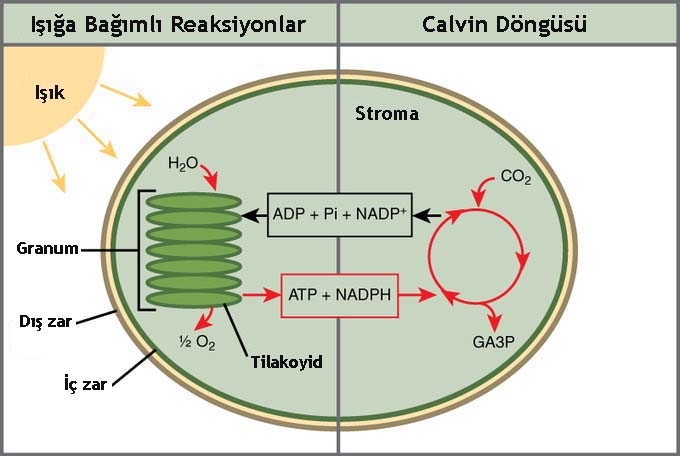 cam photosythesis lab In the case of plants, the core process is photosynthesis  for plants, this is the  crassulacean acid metabolism (cam) photosynthetic pathway.