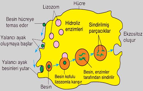 fagositoz ve pinositozun özellikleri