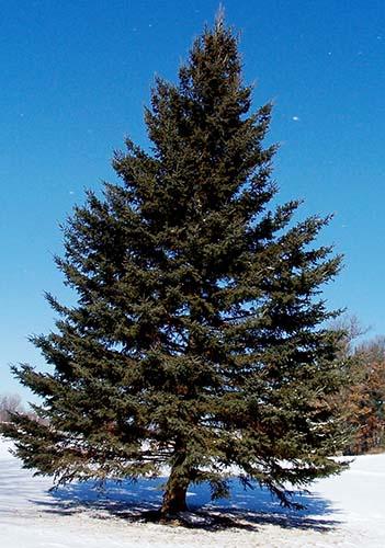 [Resim: pine_tree.jpg]