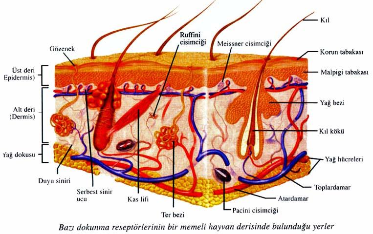 9ccf36d6afa87 Biyolojisitesi.net, Sinirler ve Hormonlar, Duyu Organları, Deri ve Mekanik  Duyular, Derinin Yapısı, Üst Deri